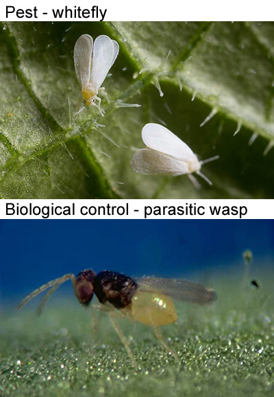 Whitefly biological control