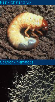 Chafer beetle larvae can be controlled by use of a nematode - neither are attractive
